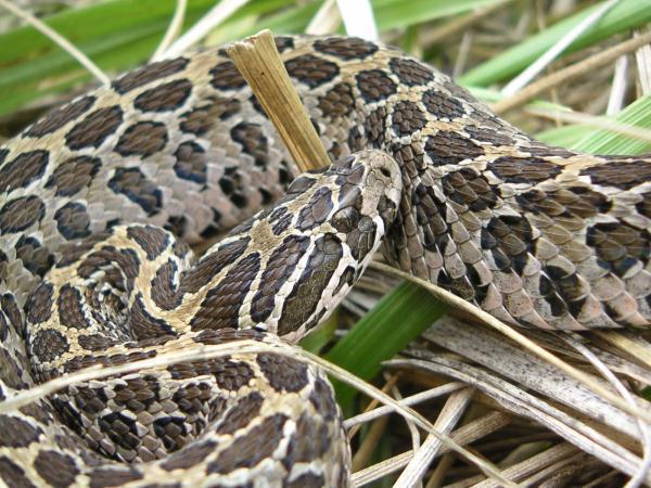 Ăn thịt đồng loại giúp rắn đuôi chuông cái khôi phục sau sinh