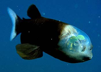 Loài cá kỳ lạ có đầu nhìn xuyên thấu