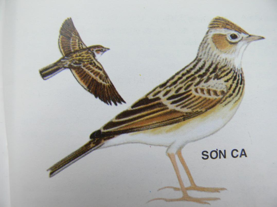 Chim sơn ca đực tán tỉnh vào ban đêm