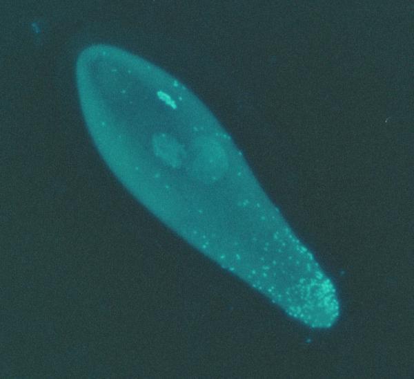 Vi khuẩn có thể điều chỉnh giới tính vật chủ