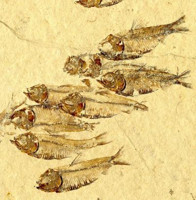 Tại sao một số loài cá tuyệt chủng vào 65 triệu năm trước