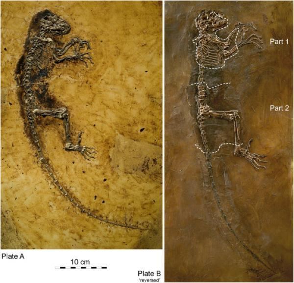 Phát hiện hóa thạch tổ tiên chung của con người và các loài linh trưởng hiện đại