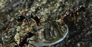 Dạ dày tập thể của đàn kiến