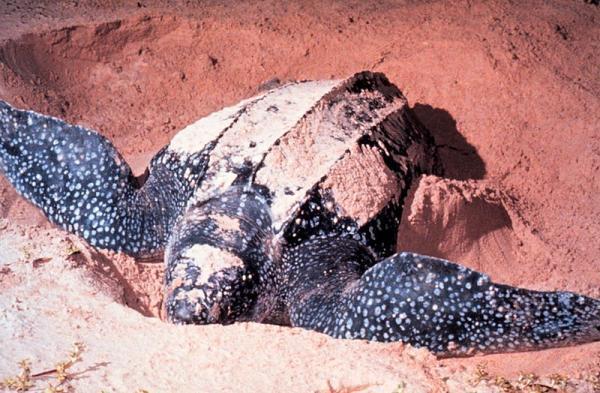 Phát hiện quần thể rùa luýt lớn nhất thế giới