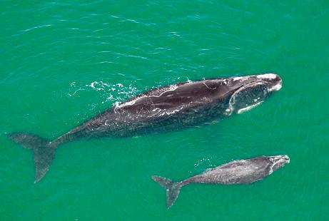 Cá voi xanh xuất hiện trở lại