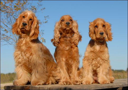Spanhơn Anh: giống chó tồi nhất thế giới?
