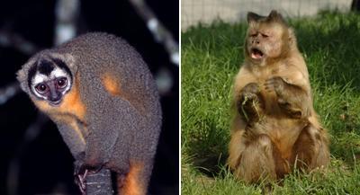 Tiến hóa về khả năng nhìn ban đêm ở loài linh trưởng