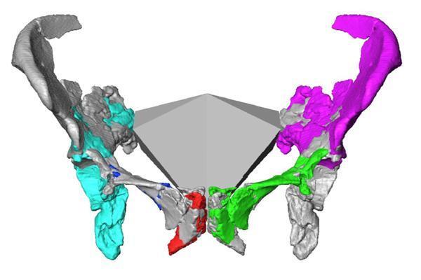 Tái tạo khung xương chậu của phụ nữ Neanderthal