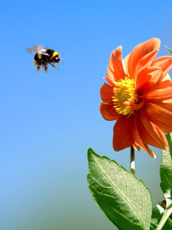 Đổi năng lượng lấy an toàn, ong duỗi thẳng chân để vững vàng bay trong gió