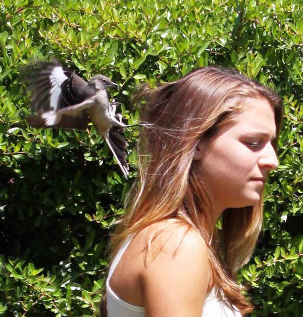 Chim nhại có thể nhận ra một khuôn mặt giữa đám đông