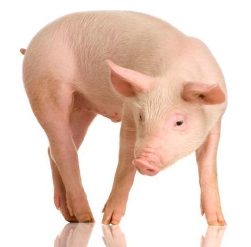 Các nhà khoa học tạo ra tế bào gốc toàn năng từ lợn