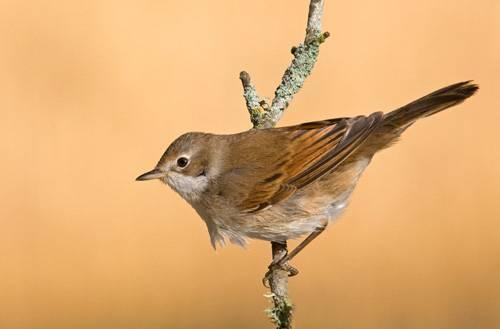 Quãng đường di trú của chim đang dài ra
