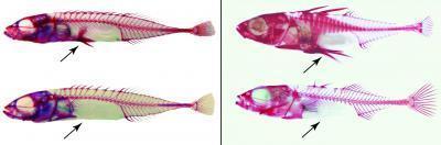 Các loài cá gai có gen khác nhau nhưng có biểu hiện tiến hóa giống nhau