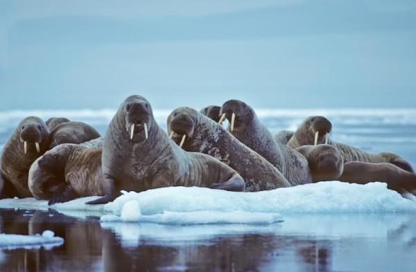 Suy giảm số lượng gấu Bắc Cực và hải mã