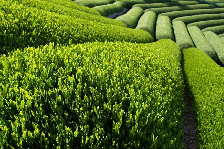 Trà xanh: tìm kiếm hy vọng từ thiên nhiên