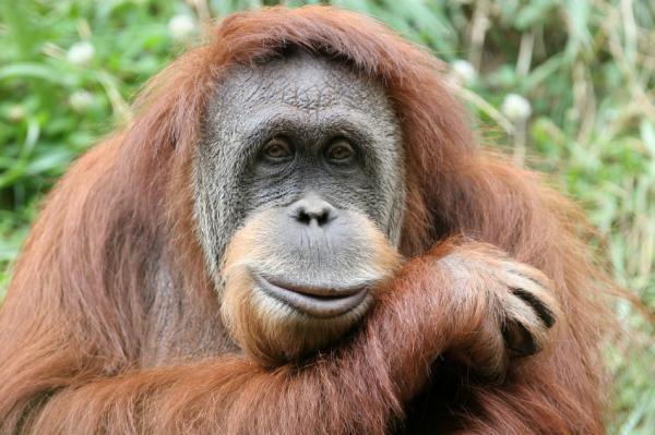Đười ươi, chứ không phải tinh tinh, là họ hàng gần gũi nhất của con người