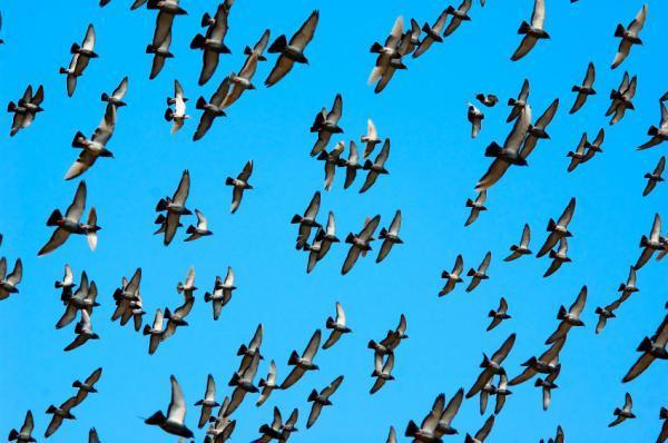 """""""Neurologger""""-Thiết bị đọc suy nghĩ của chim đang bay"""