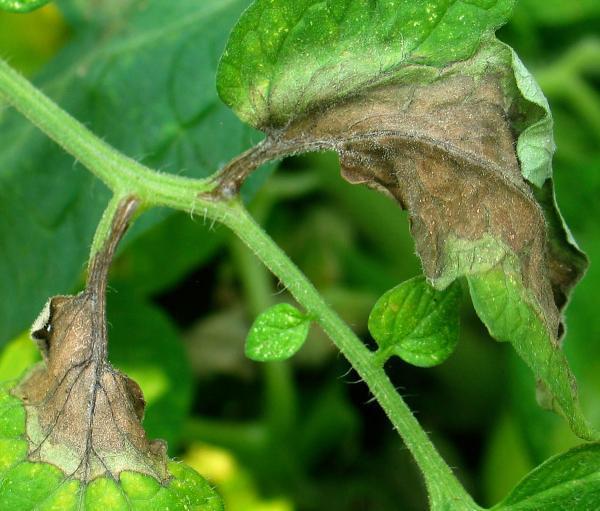 Bệnh rụng lá gây tổn thất nặng nề cho ngành nông nghiệp Bắc Mỹ