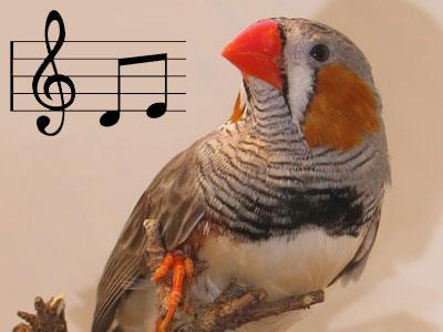 Luyện tập cải thiện kỹ năng ở chim hót