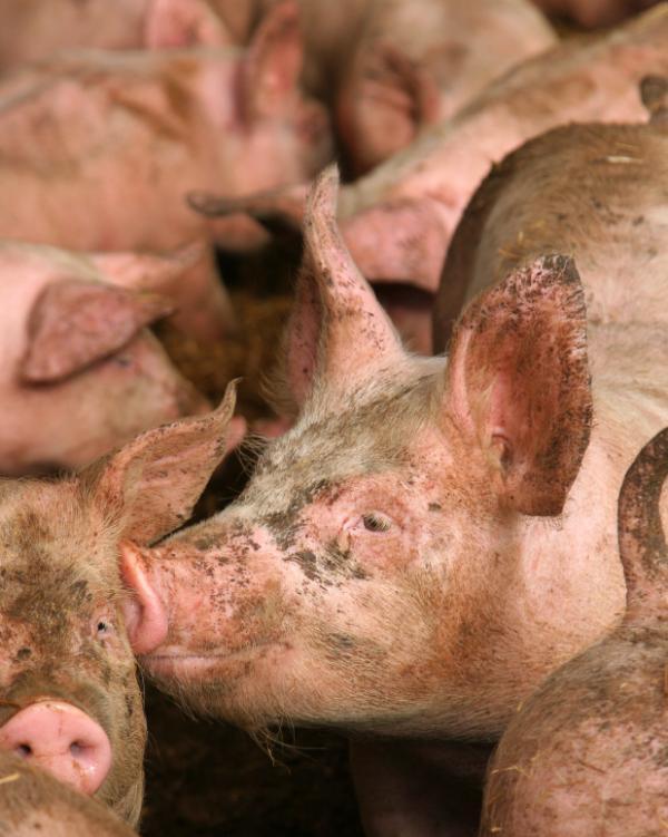 Người có thể lây truyền cúm A/H1N1 cho lợn