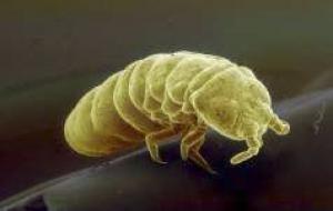 Khả năng sống sót trong môi trường đóng băng của bọ đuôi bật