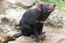 Mạng lưới xã hội – yếu tố khiến Tasmanian devil đứng trước nguy cơ tuyệt chủng