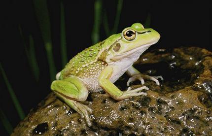Tiếng ồn giao thông làm hỏng đời sống sinh sản của ếch