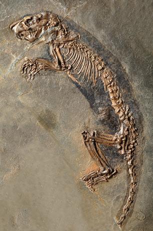 Hình ảnh các hóa thạch tại vùng Messel Pit