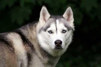 Chó sói đạt kết quả tốt hơn chó nhà trong các bài kiểm tra logic