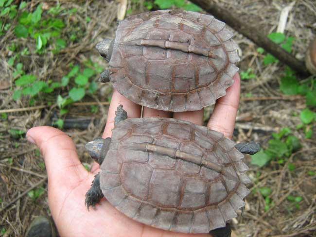 Lần đầu tiên phát hiện rùa hiếm sinh sống trong tự nhiên