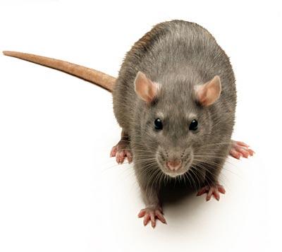 Khôi phục khả năng đi lại của chuột bị liệt