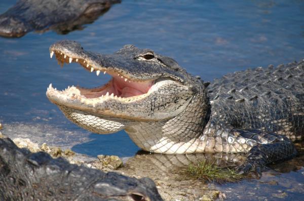 Cá sấu và chim – Thói quen trong giao cấu sinh học