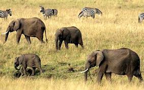 15 năm nữa voi châu Phi có thể không còn