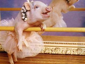 Lợn cũng có khả năng thể hiện trạng thái tình cảm