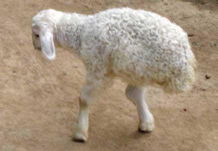 Con cừu lạ chỉ có hai chân