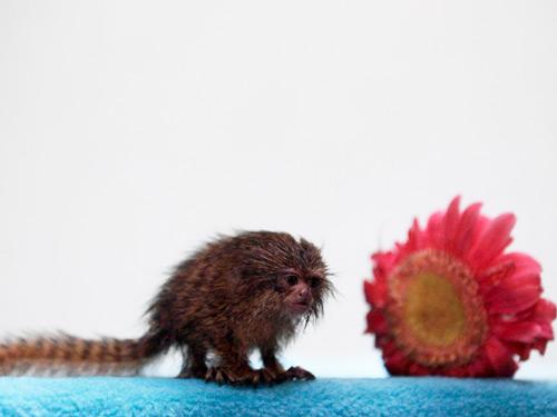 Phát hiện chú khỉ nhỏ bằng bông hoa đồng tiền