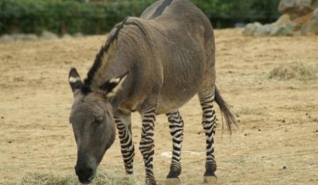 Zedon – một động vật lai tạo cực hiếm