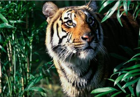 Myanmar thành lập khu bảo tồn hổ lớn nhất thế giới