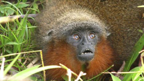Phát hiện loài khỉ mới trong rừng Amazon