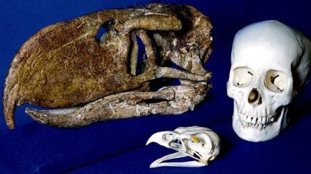 Loài chim khổng lồ thời cổ đại săn mồi như thế nào