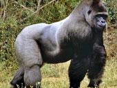Nhiều khả năng khỉ đột lây sốt rét sang người