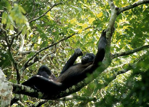 Khỉ mẹ biết giúp con tăng khả năng tìm bạn gái