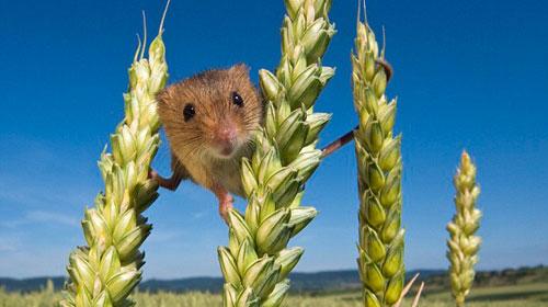 Cuộc sống bí mật của những chú chuột đồng