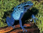 """Phát hiện một loài """"ếch làm điếc tai"""" tại Ecuador"""