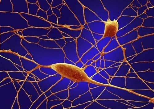 Tế bào thần kinh giúp hình thành tuyến nước bọt
