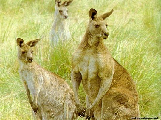 Ăn thịt Kangaroo góp phần làm giảm lượng khí thải