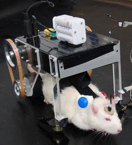 Gặp gỡ RatCar, một xe Robot Nhật Bản kiểm soát bởi não bộ của chuột