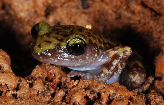 3 loài ếch mới ở dãy núi xưa nhất châu Phi