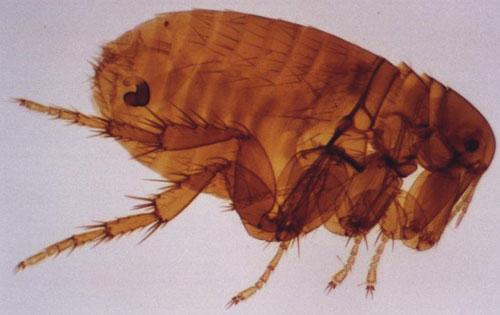 Côn trùng hút máu gieo rắc kinh hoàng tại châu Phi