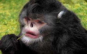 Phát hiện loài khỉ cứ trời mưa là hắt hơi